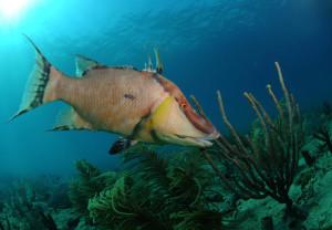 Аквариумная морская рыба Кабан, Hogfish