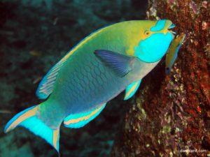 Аквариумная рыбка Морской Попугай