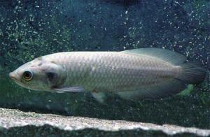 Аквариумная рыба Арована