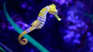 Аквариумные Морские коньки