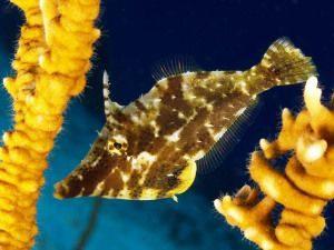 Аквариумная рыба Рубанок