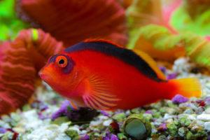 Аквариумная рыба Ястреб