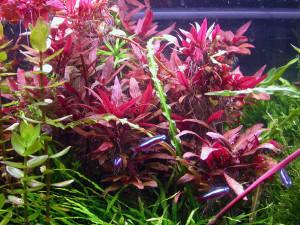 Аквариумное растение Альтернантера, Alternanthera