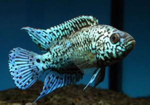 Аквариумная рыбка Блю демпси