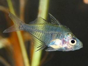Аквариумная рыбка Стеклянный окунь, Chanda ranga