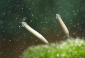 Аквариумный паразит Молочная планария