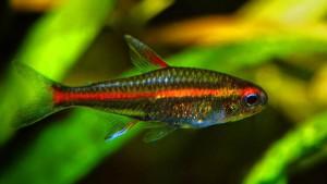 Аквариумная рыбка Эритрозонус, Hemigrammus erythrozonus