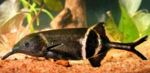 Аквариумная рыбка Слоник