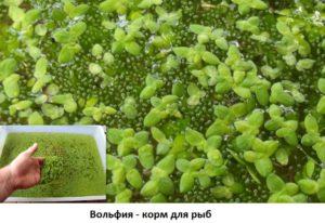 Аквариумное растение Вольфия