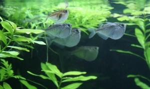 hatchetfish1