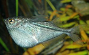 Аквариумная рыбка Клинобрюшка Стерникла