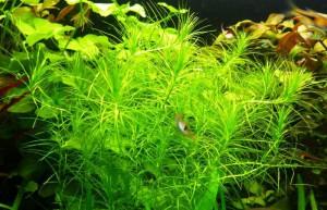 Аквариумное растение Наяс