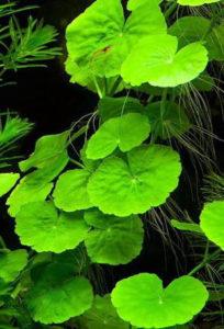 Аквариумное растение Гидрокотила трипартита