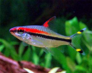 Аквариумная рыбка Барбус Денисони