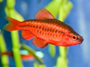 Аквариумная рыбка Барбус вишневый