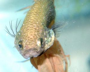 Болезнь аквариумных рыбок – манка