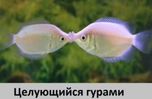 Аквариумные рыбки Целующиеся гурами