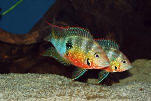 Аквариумная рыбка Цихлазома элиота