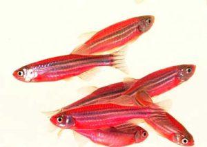 Аквариумная рыбка Данио розовый