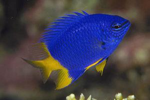 Аквариумная рыбка Хризиптера