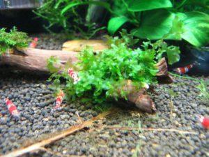 Аквариумное растение Ломариопсис