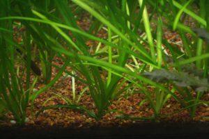 Аквариумное растение Сагиттария