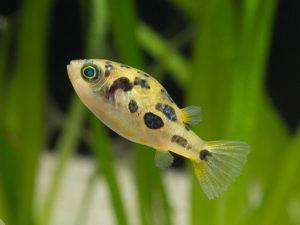 Аквариумная рыбка Тетрадон карликовый