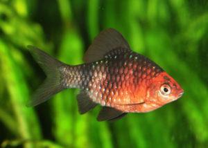 Аквариумная рыбка Черный барбус